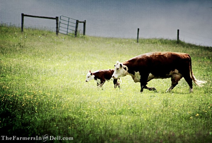 cow and calf - TheFarmersInTheDell.com