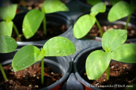 cucumber seedlings - TheFarmersInTheDell.com