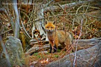 red fox pup - TheFarmersInTheDell.com
