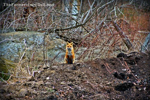 Red Fox - TheFarmersInTheDell.com