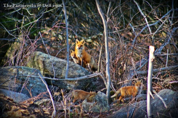 Red Fox and pups - TheFarmersInTheDell.com