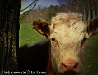 hereford cow - TheFarmersInTheDell.com
