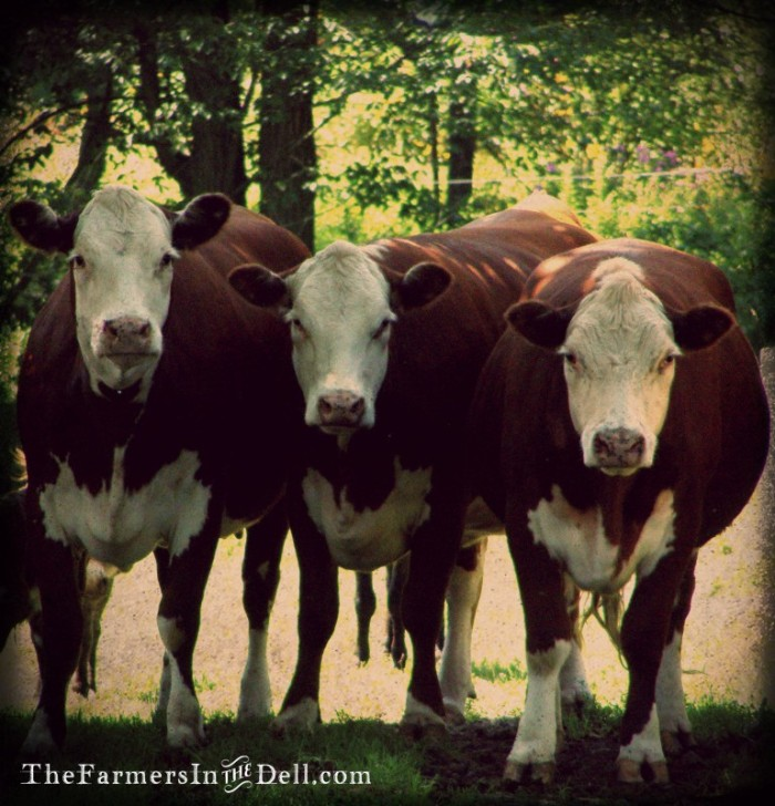 hereford cows - TheFarmersInTheDell.com
