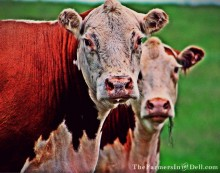 herefords - TheFarmersInTheDell.com