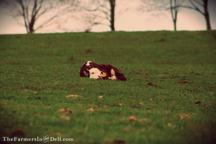 newborn calf - TheFarmersInTheDell.com