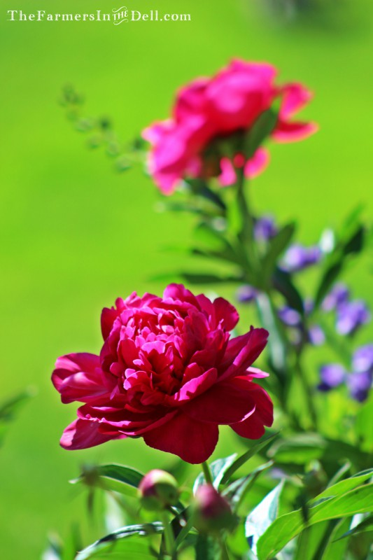 peonies in bloom - TheFarmersInTheDell.com
