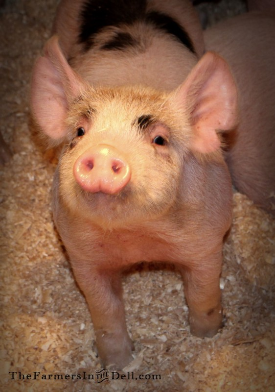 pig - TheFarmersInTheDell.com