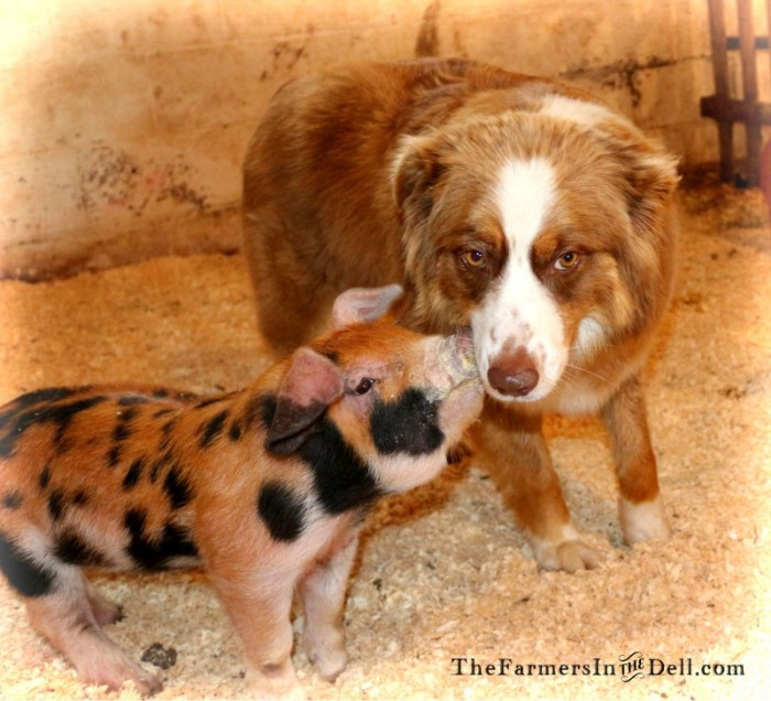 piglet and Aussie - TheFarmersInTheDell.com