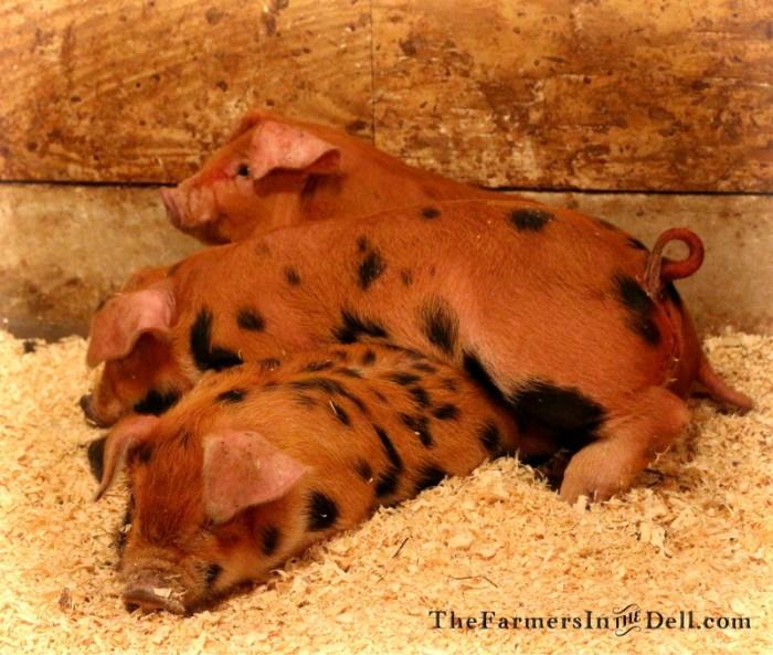 piglets - TheFarmersInTheDell.com