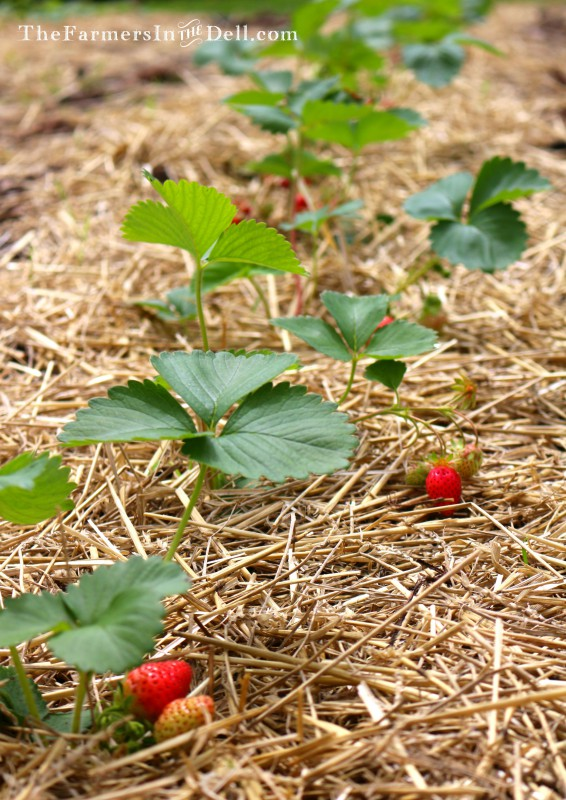 strawberry plants - TheFarmersInTheDell.com