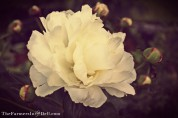 white peony - TheFarmersInTheDell.com