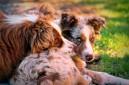 australian shepherds - TheFarmersInTheDell.com