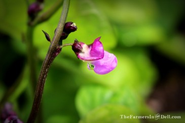bean blossom - TheFarmersInTheDell.com