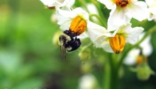 bumblebee on potato blossom - TheFarmersInTheDell.com