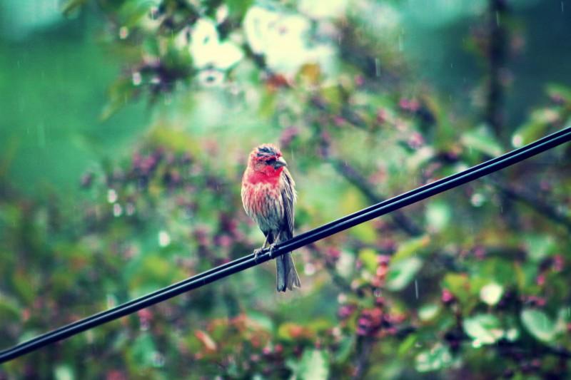 cardinal - TheFarmersInTheDell.com