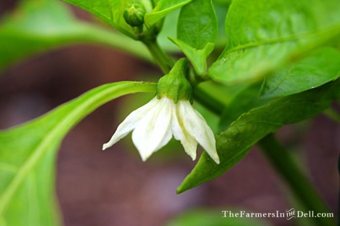 pepper blossom - TheFarmersInTheDell.com