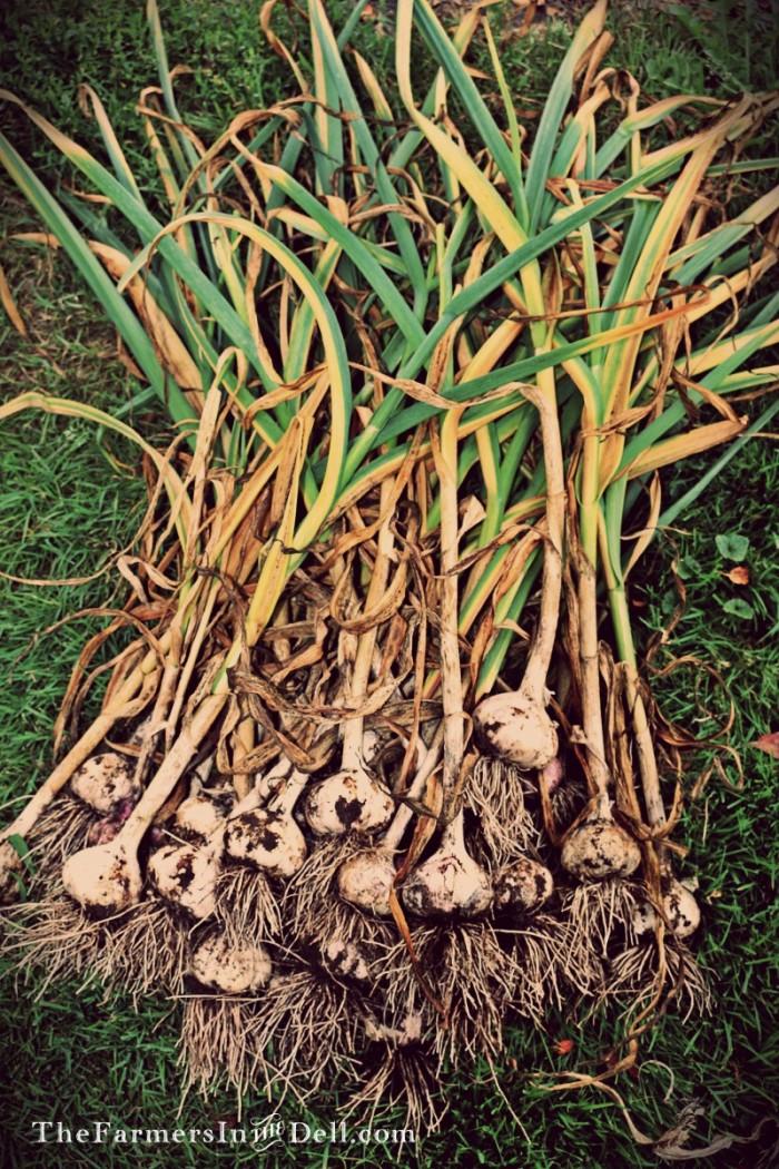 garlic - TheFarmersInTheDell.com
