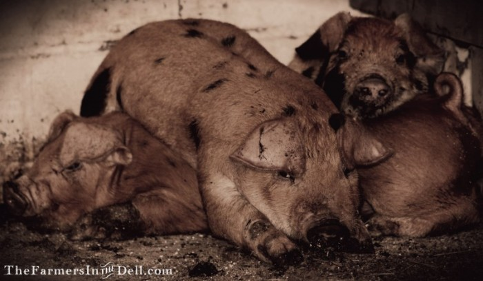 pile of pigs - TheFarmersInTheDell.com