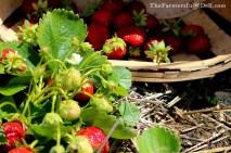 strawberries - TheFarmersInTheDell.com