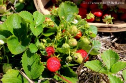 strawberries - TheFarmersInTheDell.com