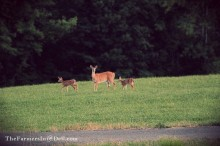 whitetail doe with fawns - TheFarmersInTheDell.com