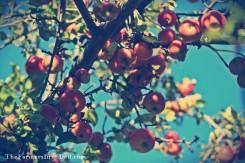 apples - TheFarmersInTheDell.com