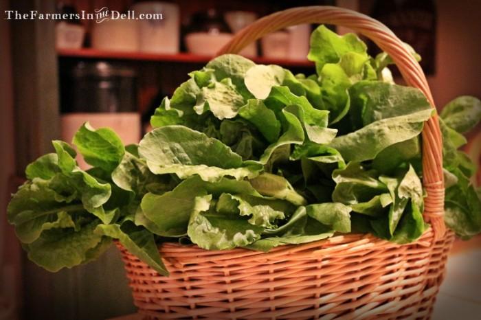 buttercrunch lettuce - TheFarmersInTheDell.com