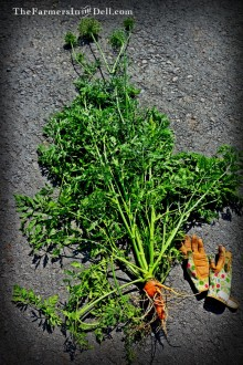 carrot - TheFarmersInTheDell.com