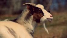 goat - TheFarmersInTheDell.com