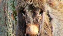 mini donkey - TheFarmersInTheDell.com