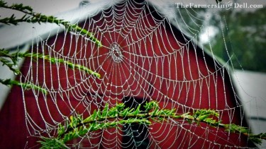 spider web with raindrops - TheFarmersInTheDell.com