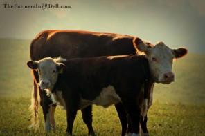 heifer and calf - TheFarmersInTheDell.com