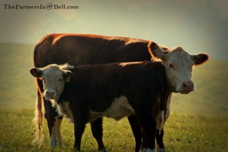 heifer and calf - TheFarmersInTheDell.com