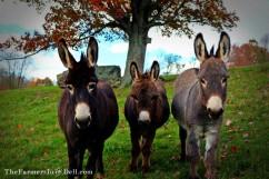 mini donkeys - TheFarmersInTheDell.com