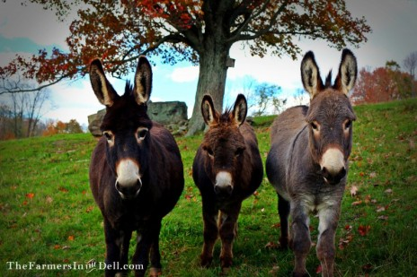 mini donkeys - TheFarmersInTheDell.com