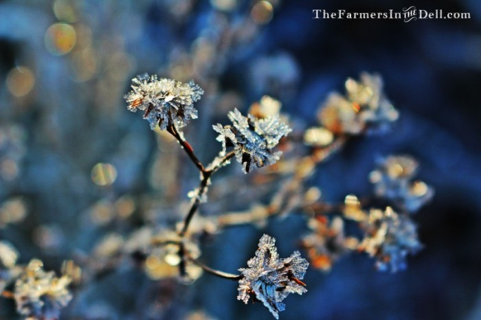 frost - TheFarmersInTheDell.com