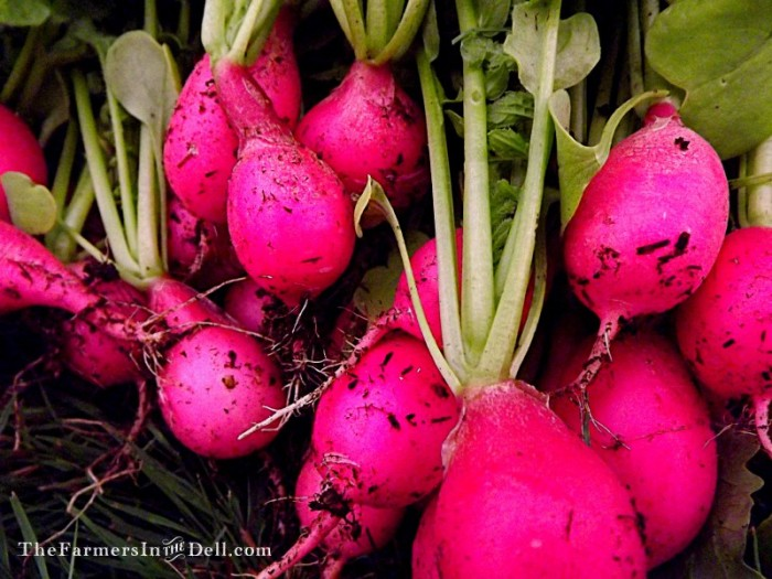 pink beauty radishes - TheFarmersInTheDell.com