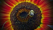 sunflower with bumblebee - TheFarmersInTheDell.com