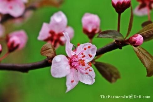 blossom - TheFarmersInTheDell.com