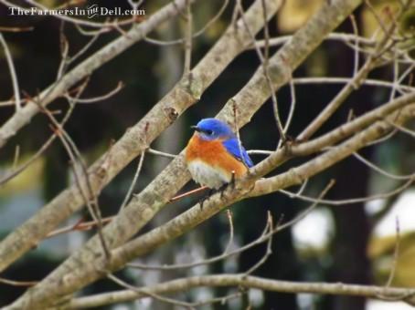 bluebird - TheFarmersInTheDell.com