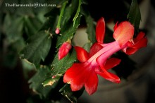 leap year christmas cactus - TheFarmersInTheDell.com