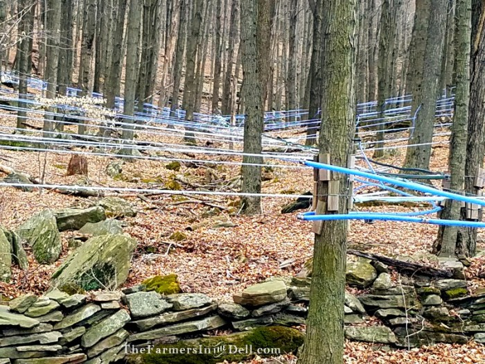 maple syrup lines - TheFarmersInTheDell.com