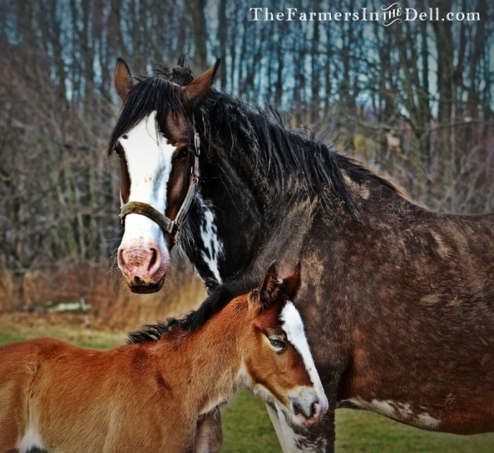 clydesdale mare and foal - TheFarmersInTheDell.com