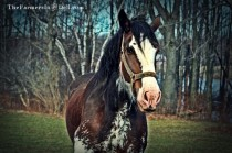 clydesdale mare - TheFarmersInTheDell.com