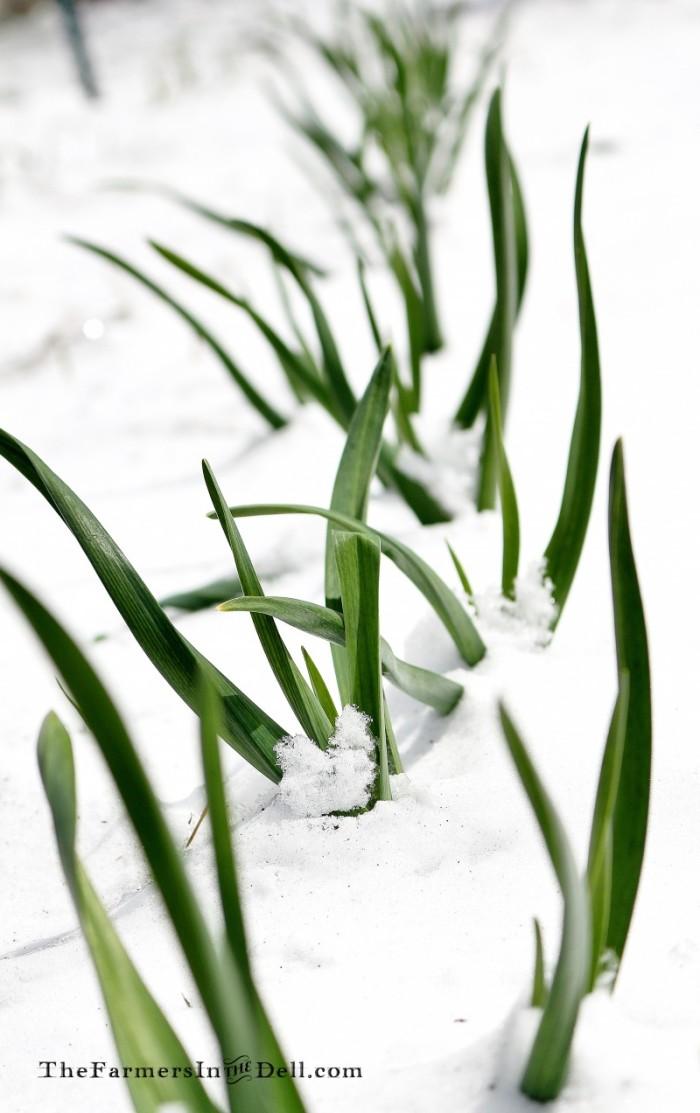 onion snow - TheFarmersInTheDell.com