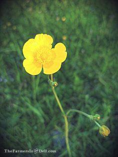 buttercup - TheFarmersInTheDell.com