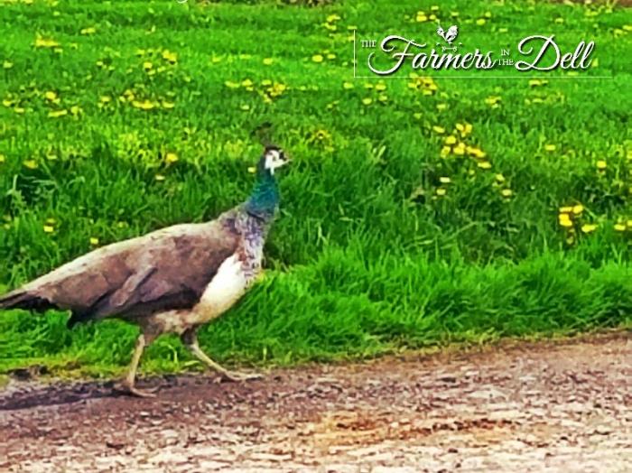 peacock - TheFarmersInTheDell.com