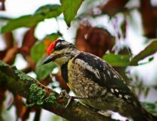 downy woodpecker - TheFarmersInTheDell.com