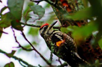 downy woodpecker - TheFarmersInTheDell.com