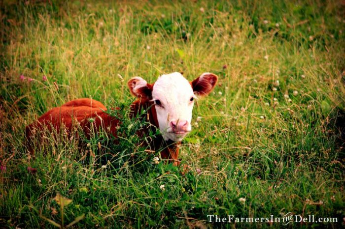 hereford calf - TheFarmersInTheDell.com
